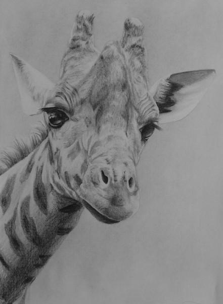 how to draw wild life giraffe